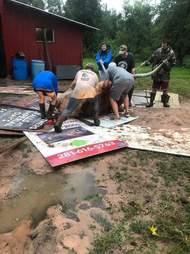 people pulling steer stuck in mud