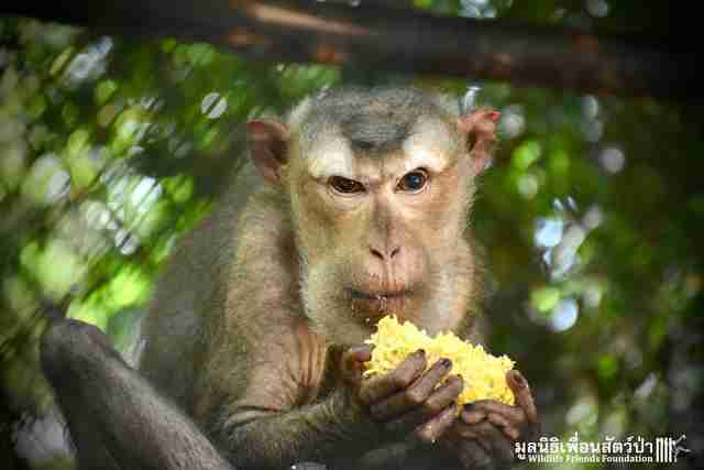 Rescued macaque eating corn