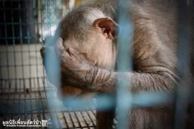 Sad circus monkey