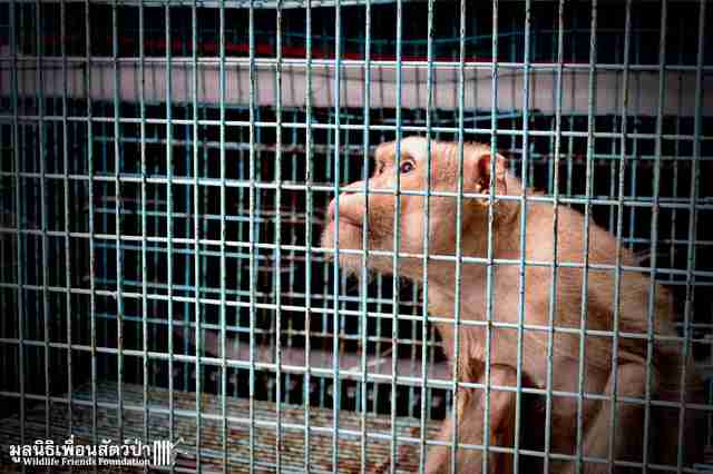 Macaque in cage