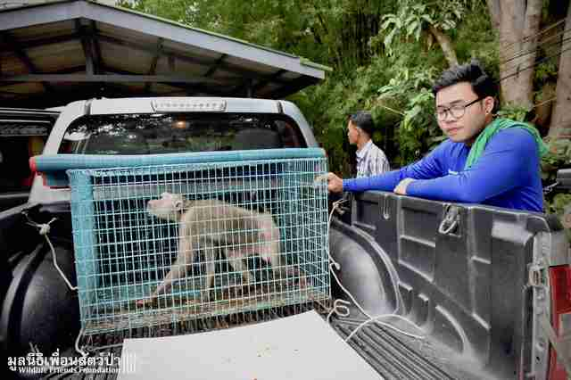 Circus macaque getting rescued