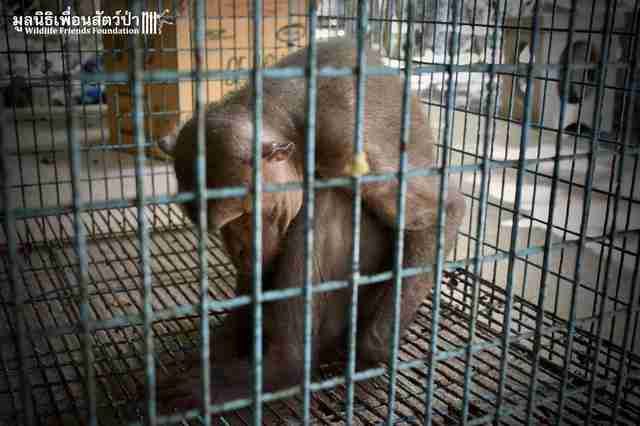 Sad circus monkey in cage