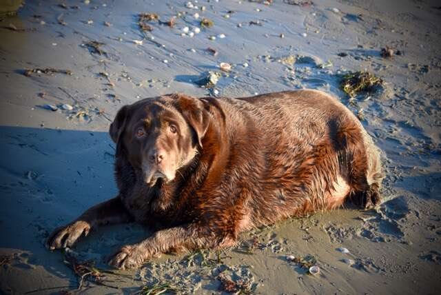 obese dog weight loss journey