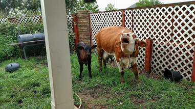 Sanctuary cows safe from hurricane
