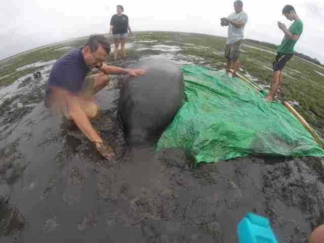 People helping stranded manatees