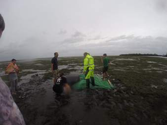 People helping stranded manatees