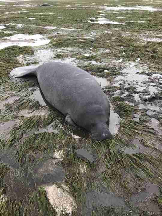 Stranded manatee in bay