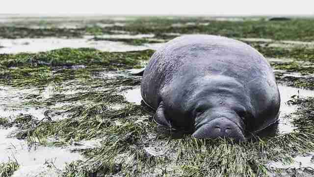 Stranded manatee on empty bay