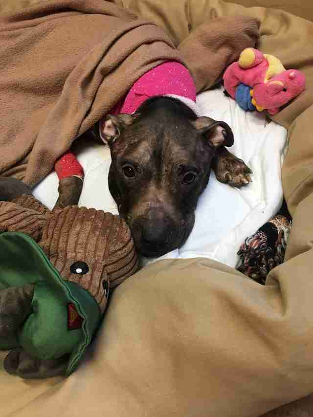 Pit bull left for dead gets a bed and toys