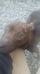 Pit bull left for dead after being used for fighting