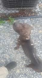Pit bull left for dead in park