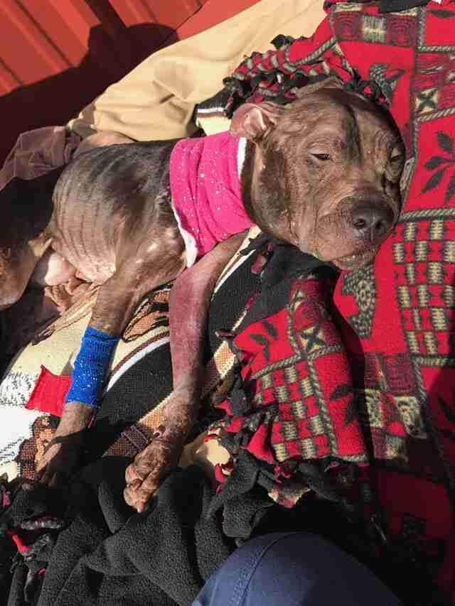 Pit bull saved from fighting