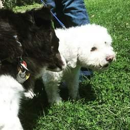 Border collie dog sniffing other dog