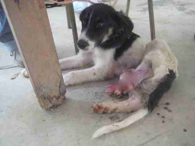 Dog with injured leg