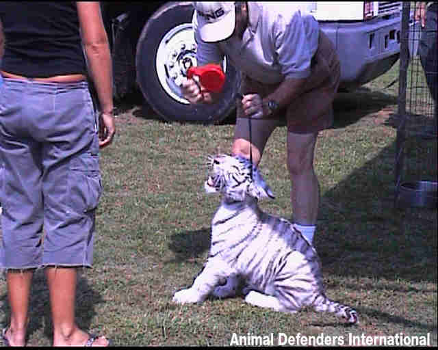 Circus tiger cub being cruelly treated