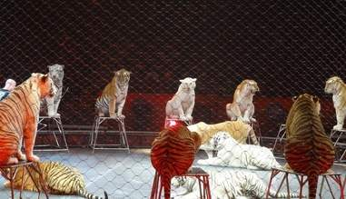 Circus tigers in arena
