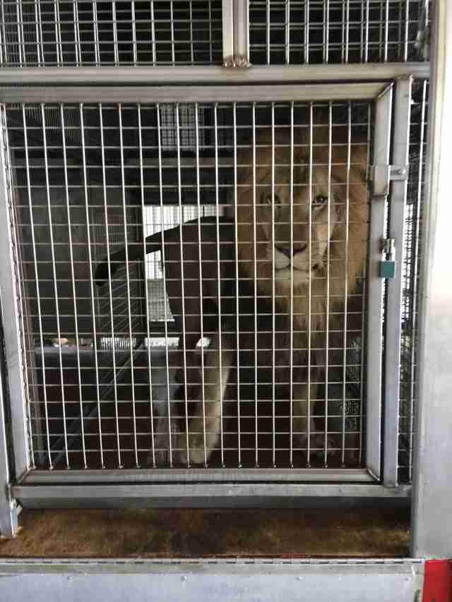 Caged lion formerly used in circus