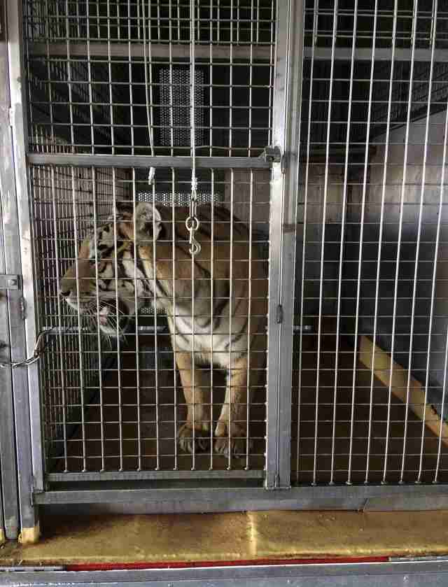 Caged tiger formerly used in circus