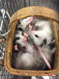 Rescued opossums squeezing into basket together