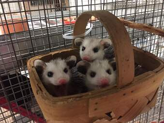 Rescued baby opossums in basket together