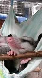 Opossum sleeping in hammock