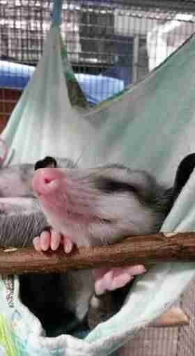 Opossum sleeping in hammock