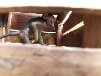 Baboon in crate