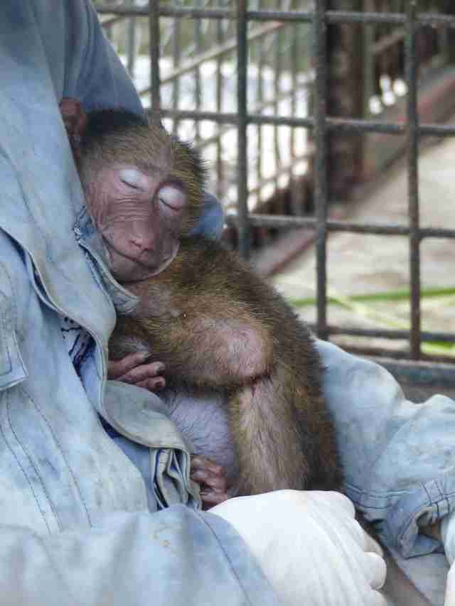 Rescued baboon sleeping on caretaker