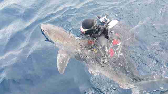 Diver with rescued great white shark