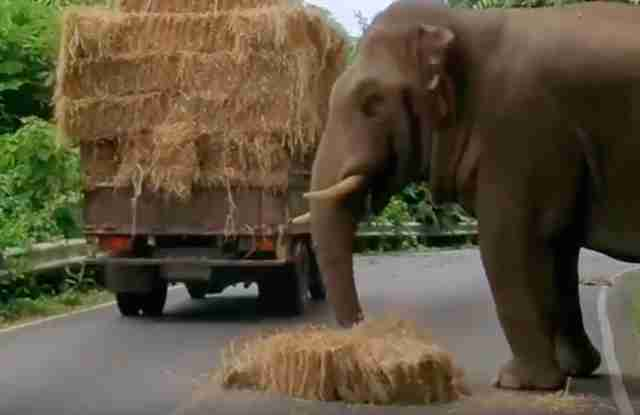 Asian elephant steals hay from truck