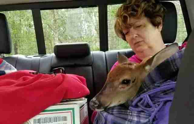 Baby deer saved from Hurricane Irma
