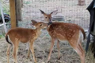 Deer meets friend at rescue center after getting saved from Hurricane Irma