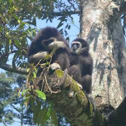 Gibbons living in a tree