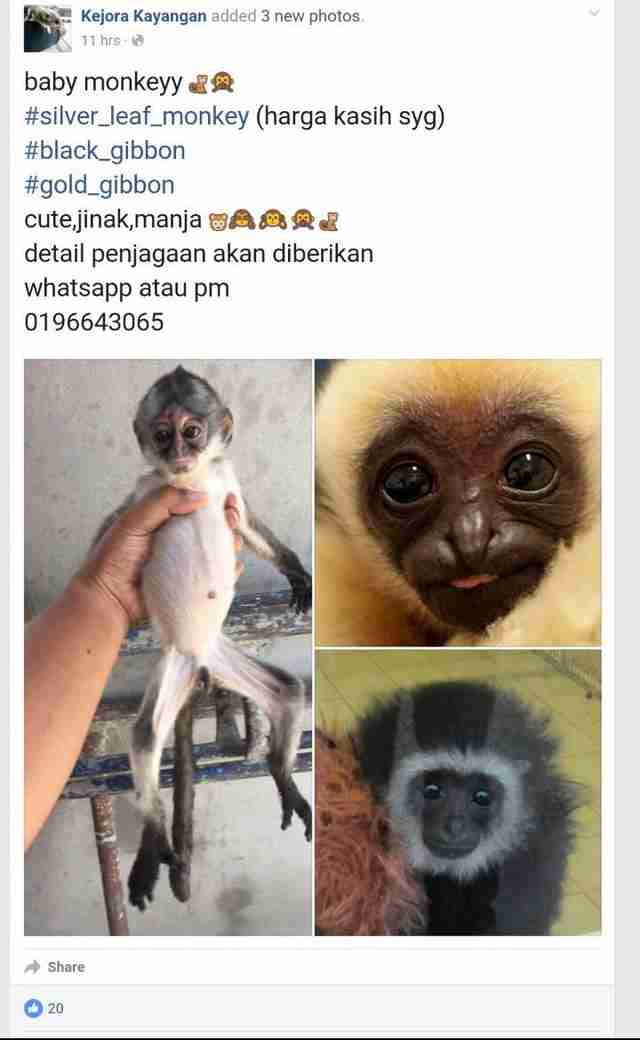 Baby gibbon sold on Facebook page