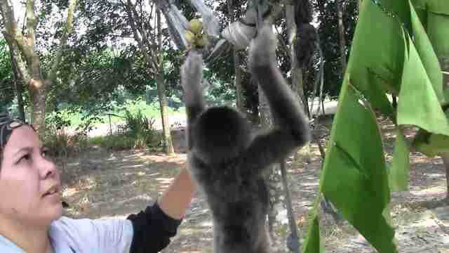 Woman with rescued gibbon