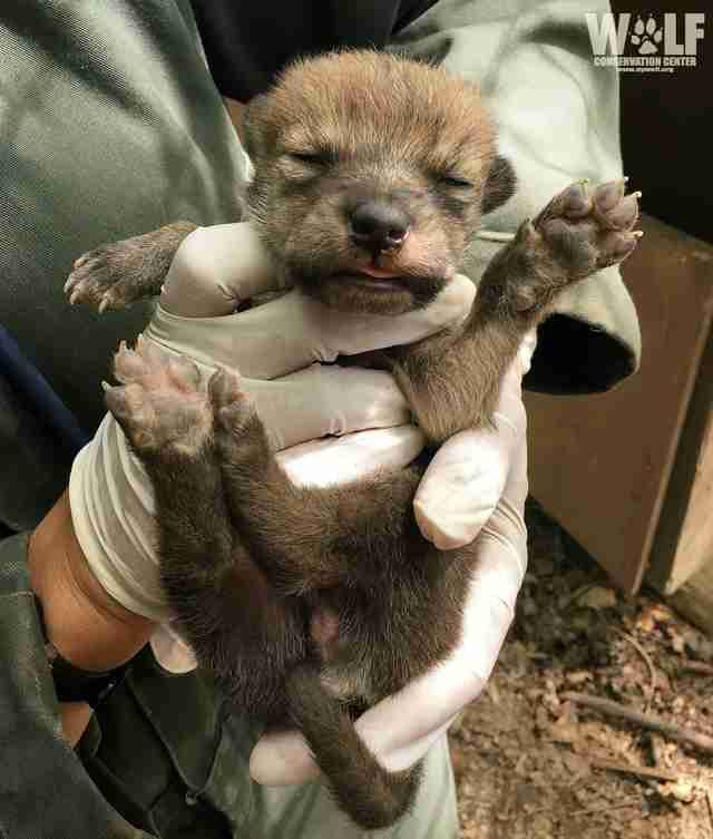 Mexican gray wolf pup born at conservation center