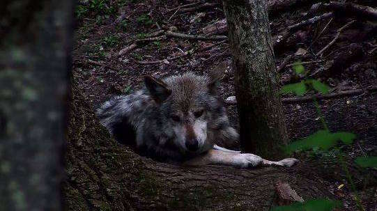 Mexican gray wolf at conservation center