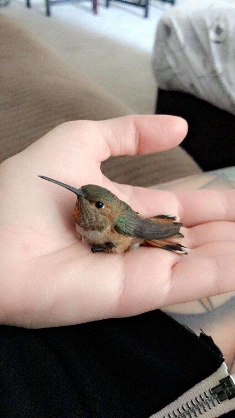 hummingbird rescue