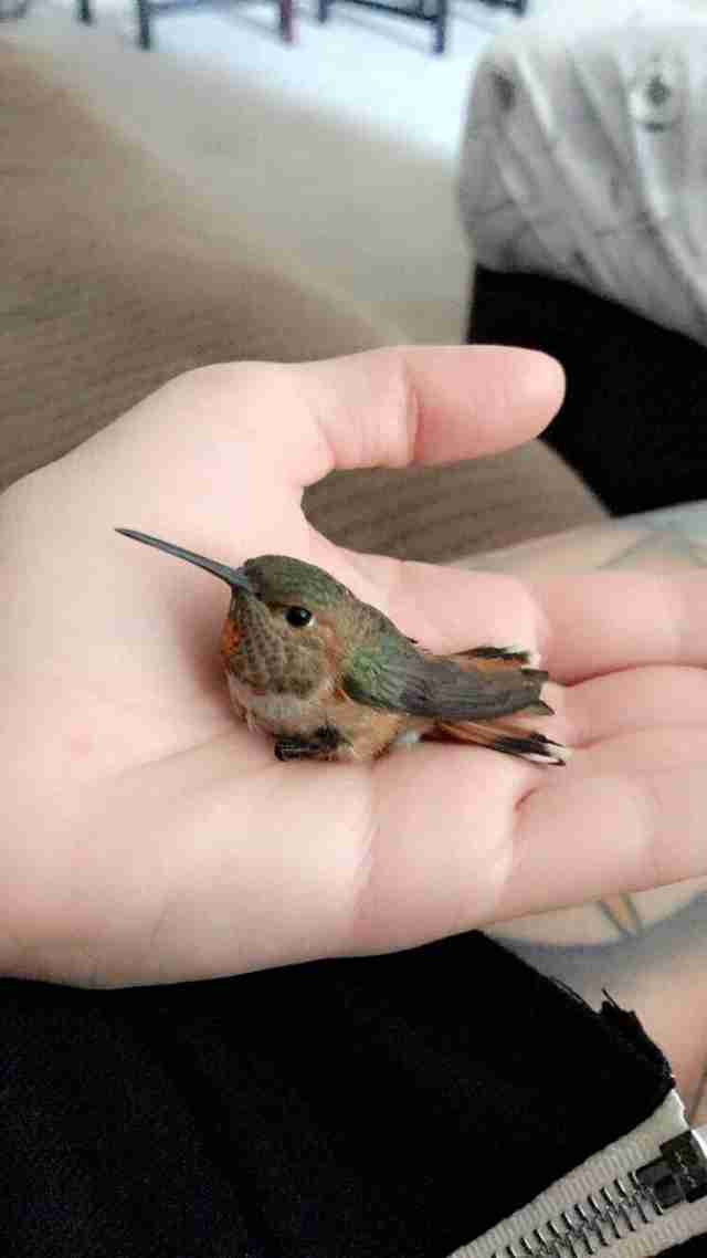 hummingbird rescue