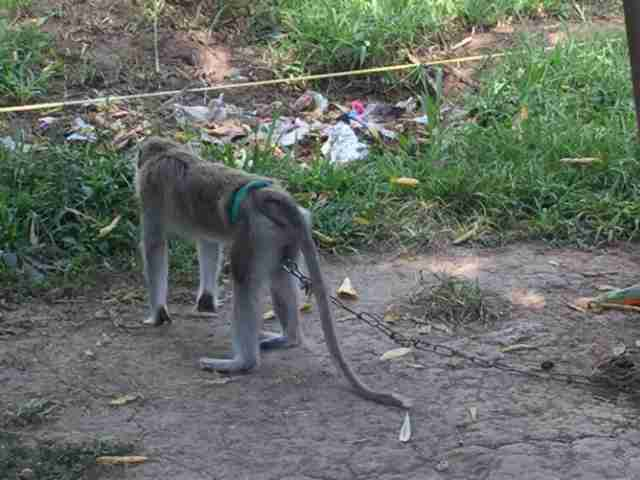 Macaque chained by waist