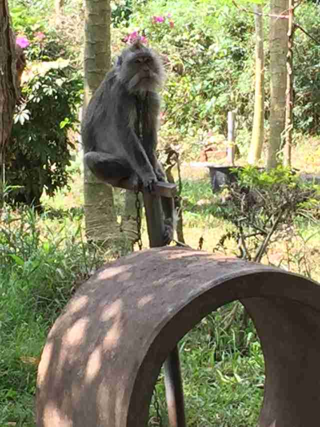 Chained macaque at zoo