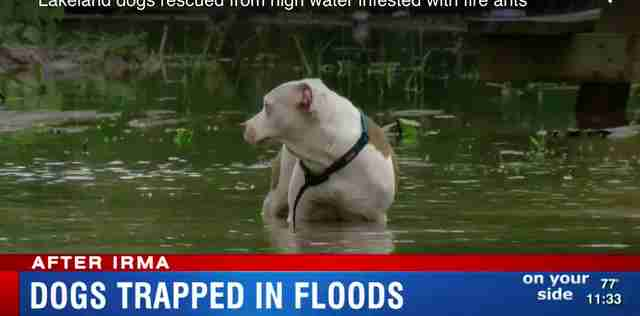 dogs stranded irma rescued