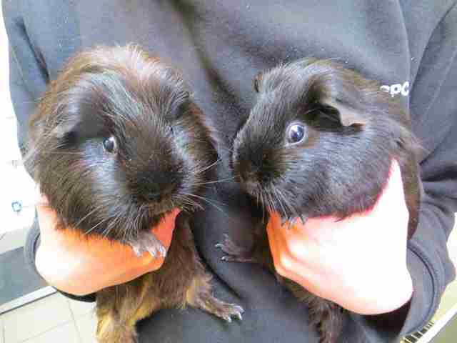 abandoned guinea pigs