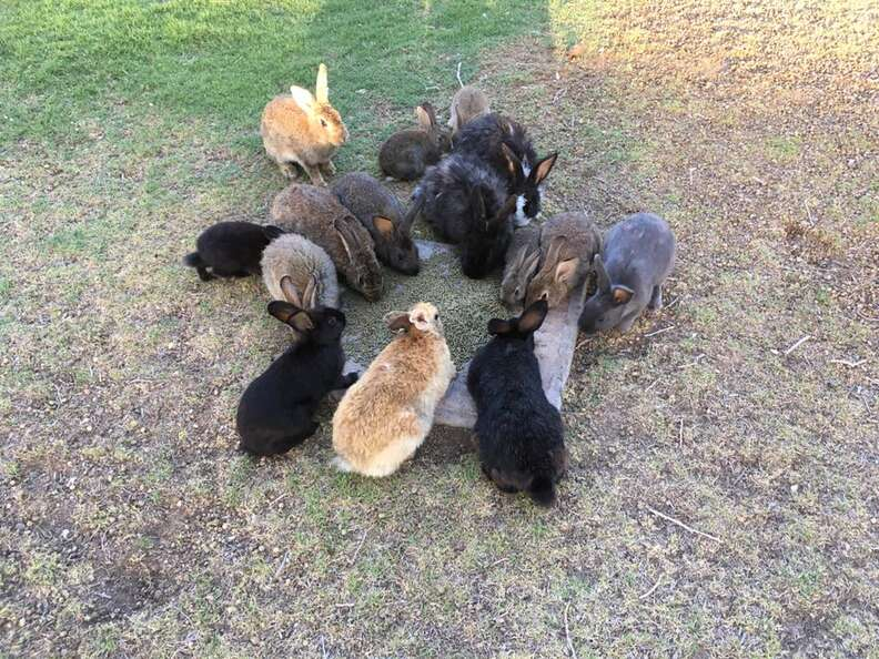 Rabbits eating from bowl