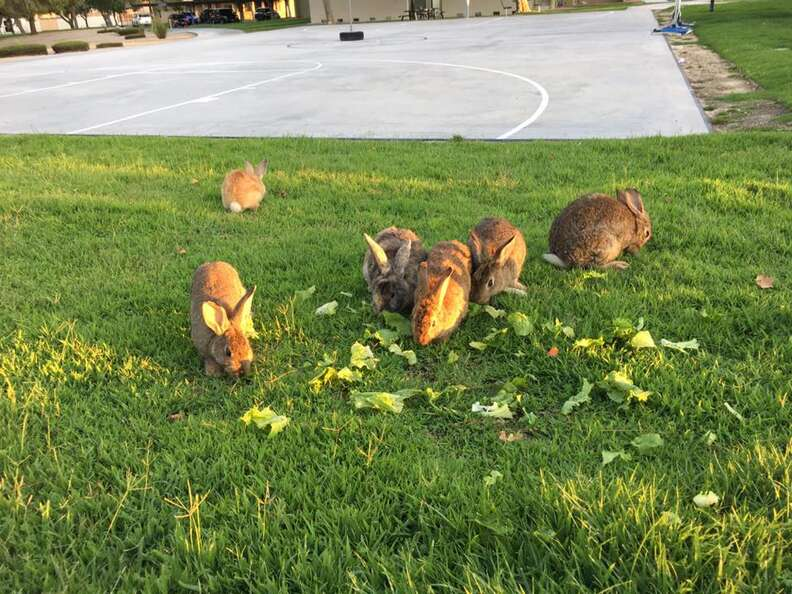 Rabbits out on grass
