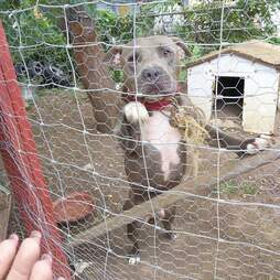 chained pit bull