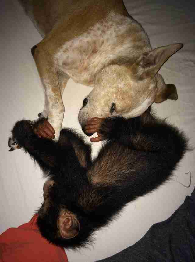 Rescued chimp with dog