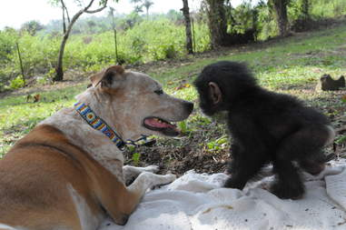 Dog with rescued baby chimp