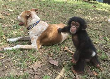 Rescued chimp and rescued dog