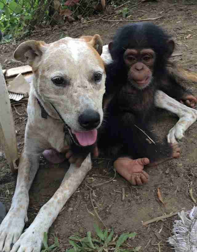 Chimp and dog